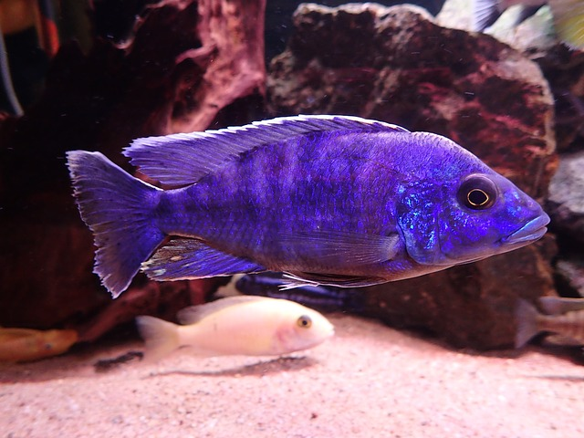 modrá ryba