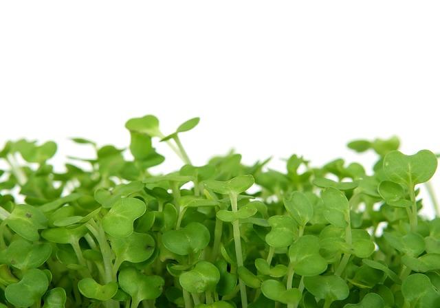klíčící zelené rostlinky
